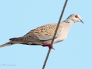 Τρυγόνι / Turtle Dove (Streptopelia turtur) (K. Panagiotidis)