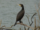 Κορμοράνος / Cormorant (Phalacrocorax carbo) (E. Stets)
