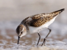 Νανοσκαλιδρα / Little Stint (Calidris minuta) (S. Mills)