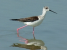 Καλαμοκάνας / Black-winged Stilt (Himantopus himantopus) (E. Stets)
