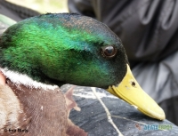 Surprises during ringing waterfowl…