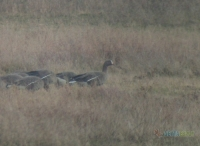The Lesser White Fronted Geese again in Evros Delta