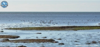 New national record for the Red Knots in the Evros Delta