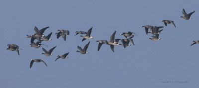 The Lesser White-fronted Geese in Evros Delta