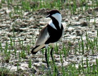 Spur-winged Plover (Hoplopterus spinosus) in Evros Delta