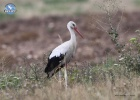 White Stork recovery from Poland