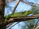 Τρανόσαυρα / Balkan Emerald Lizard (Lacerta trilineata) (E. Stets)