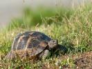 Γραικοχελώνα / Common Tortoise (Testudo graeca) (L. Simitzi)