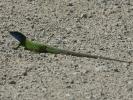 Πράσινη σαύρα / Green Lizzard (Lacerta viridis viridis) (K. Panagiotidis)