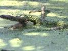Νερόφιδο (Natrix natrix) (K. Panagiotidis)