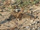 Ακρίδα / Locust (K. Panagiotidis)