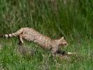 Αγριόγατα / Wildcat (Felis silvestris) (L. Simtzi)