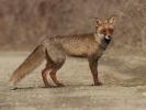 Τσακάλι / Jackal (Canis aureus) (K. Panagiotidis)