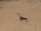 Τρυγόνι / Turtlr Dove (Streptopelia turtur) (B. Tzivintzeli)