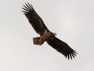 Θαλασσαετός / White - tailed Eagle (Haliaetus albicilla) (L. Stavrakas)