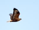 Αετογερακίνα / Long-legged Buzzard (Buteo rufinus) (S. Mills)