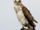 Φιδαετός / Short-toed Eagle (Circaetus gallicus) (S. Mills)