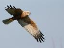 Καλαμόκιρκος / Marsh Harrier (Circus aeruginosus) (S. Mills)