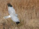 Χειμωνόκιρκος / Hen Harrier (Circus cyaneus) (S. Mills)