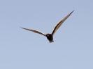 Αργυρογλάρονο / White-winged Black Tern (Chlidonias leucopterus) (G. Alexandris)