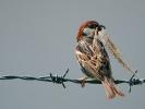 Χωραφοσπουργίτης / Spanish Sparrow (Passer hispaniolensis) (L. Simitzi)