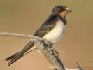 Σταβλοχελίδονο / Swallow (Hirundo rustica) (K. Panagiotidis)