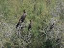 Κορμοράνος / Cormorant (Phalacrocorax carbo) (A. Athanasiadis)