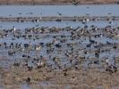 Πάπιες / Ducks (Anas sp.) (K. Panagiotidis)