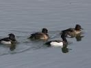 Μαυροκέφαλες πάπιες / Tufted Ducks (Aythya fuligula) (Α. Athanasiadis)