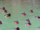 Βαλτόπαπιες / Ferruginous Ducks (Aythya nyroca) (Α. Athanasiadis)