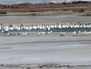 Βουβόκυκνοι / Mute Swans (Cygnus olor) (A. Athanasiadis)