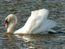 Βουβόκυκνος / Mute Swan (Cygnus olor) (E. Stets)
