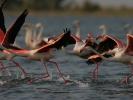 Φοινικόπτερα / Greater Flamingos (Phoenicopterus roseus) (A. Athanasiadis)