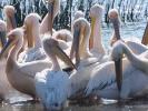 Ροδοπελεκάνοι / White Pelicans (Pelecanus onocrotalus) (K. Panagiotidis)