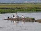 Αργυροπελεκανοι / Dalmatian Pelicans (Pelecanus crispus) (E. Stets)
