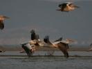 Ροδοπελεκάνοι / White Pelicans (Pelecanus onocrotalus) (A. Athanasiadis)