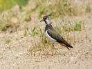Καλημάνα / Lapwing (Vanellus vanellus) (G. Alexandris)