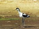 Αβοκέτα / Avocet (Recurvirostra avosetta) (A. Athanasiadis)