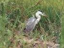 Σταχτοτσικνιάς / Grey Heron (Ardea cinerea) (A. Athanasiadis)