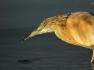 Κρυπτοτσικνιάς / Squacco Heron (Ardeola ralloides) (C. Vlahos)