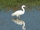 Λευκοτσικνιάς / Little Egret (Egretta garzetta) (E. Stets)