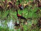 Χαλκόκοτα / Glossy Ibis (Plegadis falcinellus) (A. Athanasiadis)