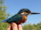 Δακτυλίωση πουλιού, Δέλτα Έβρου 2009  / Ringing bird Evros Delta  2009 (E. Stets )