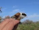 Δακτυλίωση πουλιού, Δέλτα Έβρου / Ringing bird Evros Delta  (E. Stets)