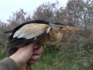 Δακτυλίωση πουλιού, Δέλτα Έβρου 2011 / Ringing bird Evros Delta 2011 (E. Stets )
