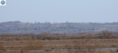 The Lesser White-fronted Geese again in the Delta!