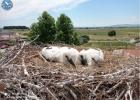 White Stork ringing, summer 2021