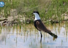 New Greek record of Spur – winged Lapwings in the Evros Delta
